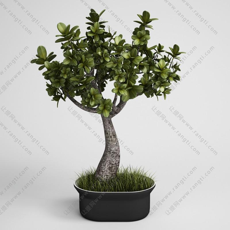 发财树盆栽植物、绿植3D模型