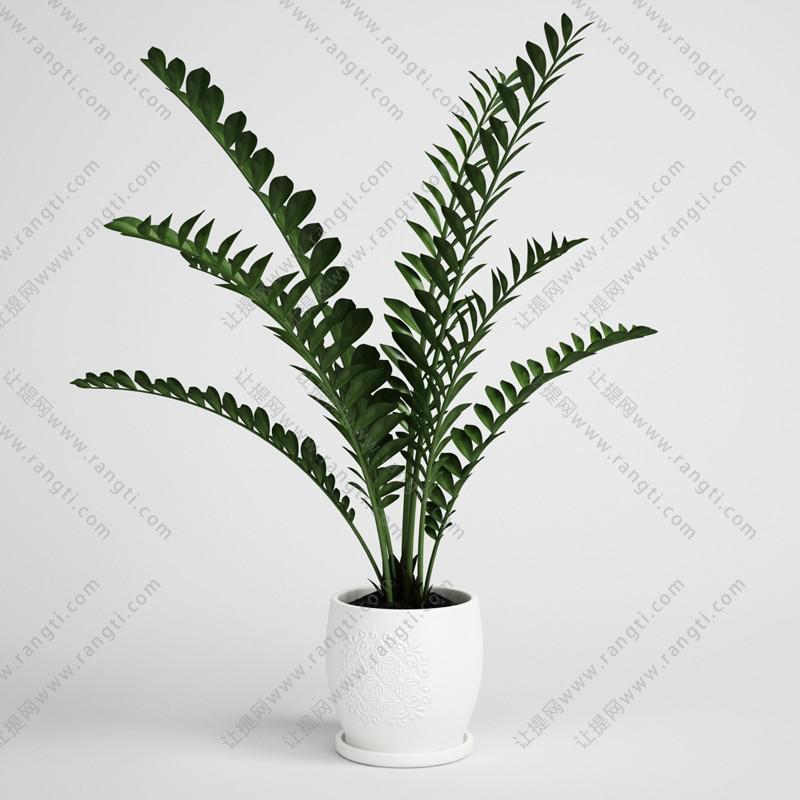 金钱树盆栽植物、绿植3D模型