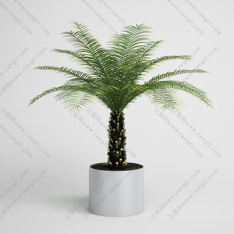 铁树盆栽植物、绿植3D模型