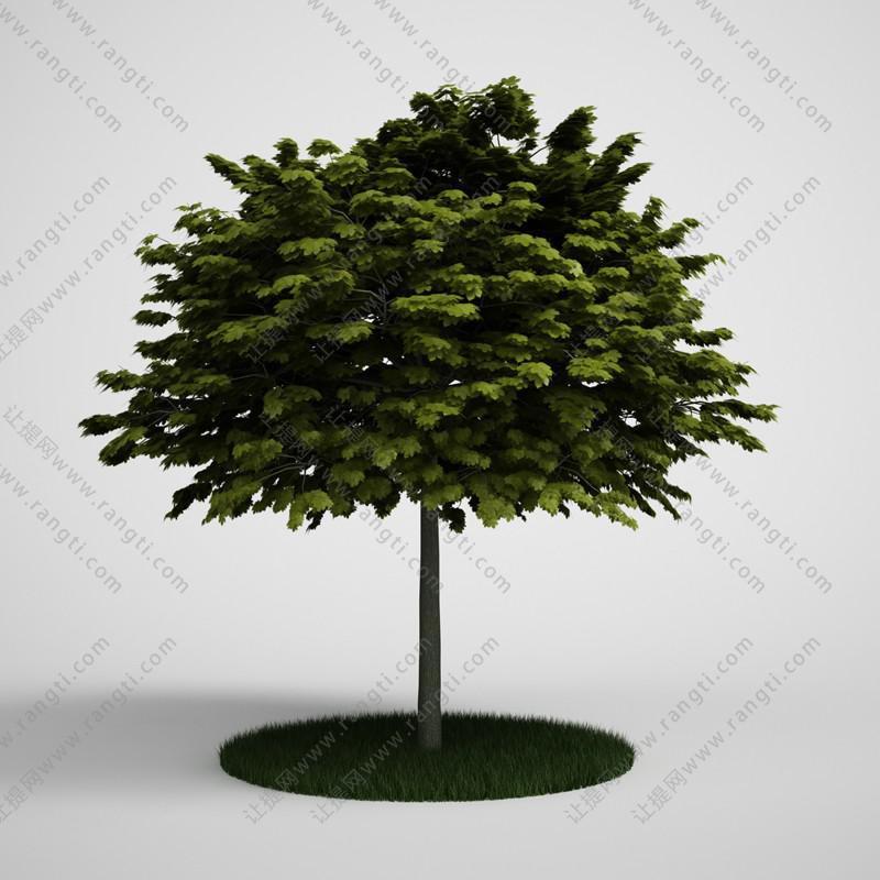 异叶南洋杉树木、乔木3D模型