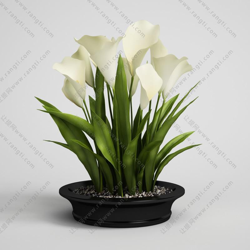 大盆马蹄莲盆栽花卉、花艺3D模型