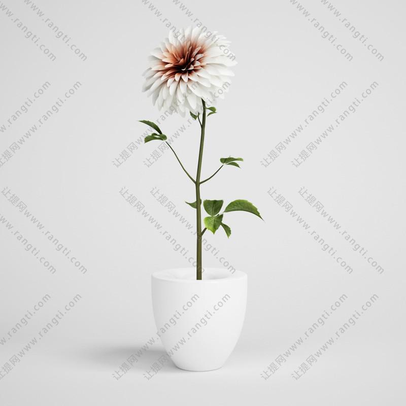 白色大理花盆栽花卉、花艺3D模型